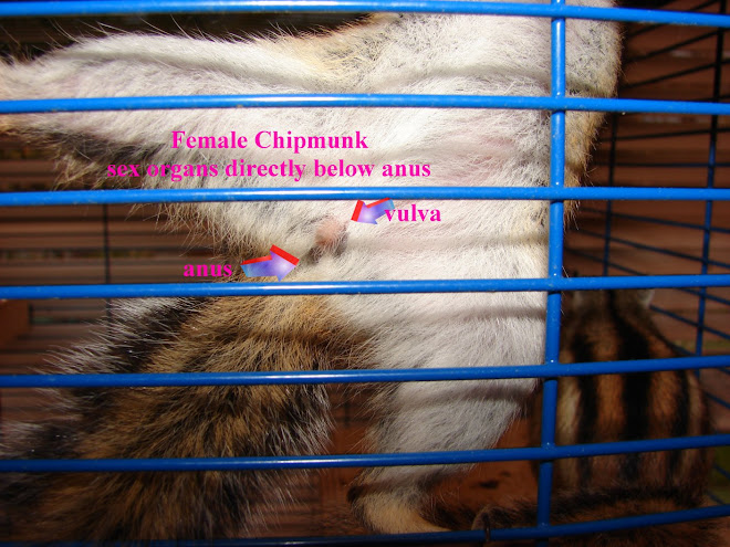 How to tell if you chipmunk is male or female