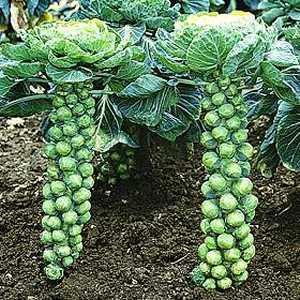 http://1.bp.blogspot.com/_0YTZJpJ8Jp8/STHFN42-uAI/AAAAAAAAFGM/WEEMSkSteb8/s400/brussels-sprouts.jpg