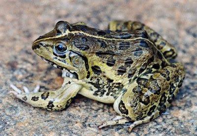 Indian Bullfrog - Hoplobatrachus tigerinus