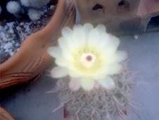 Cactus sin identificar: