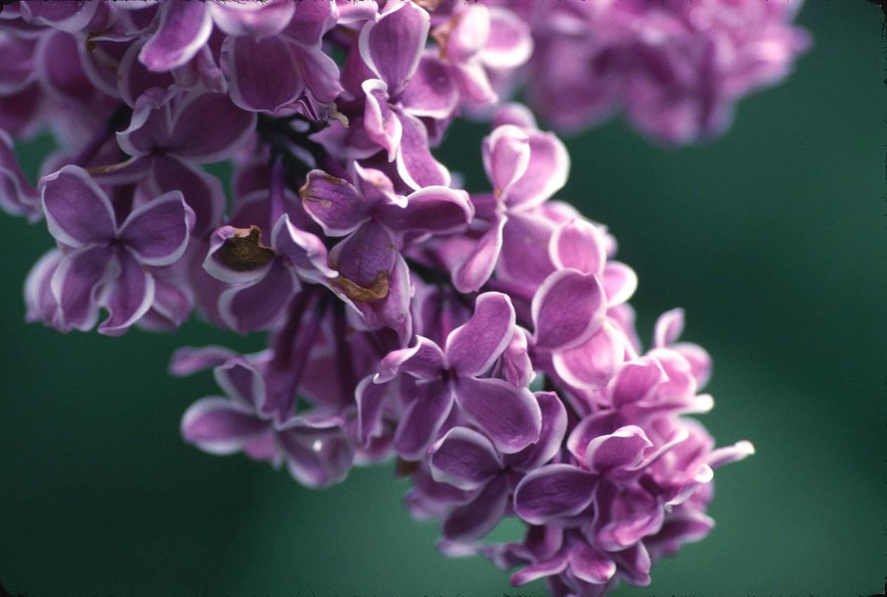 myplantscrapbook: Lilacs!