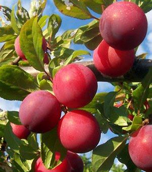 Medicina tradicional plantas medicinales for Ciruela santa rosa