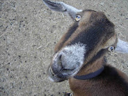 Grandma Goat