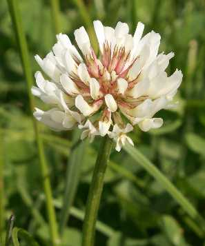 White Clover Flowers CountryMax.com