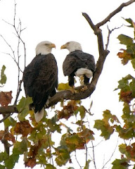 Shepherdstown Bald Eagles--The Original Pair