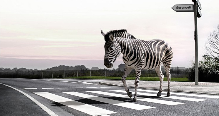 Line Drawing Of Zebra Crossing : Eit october