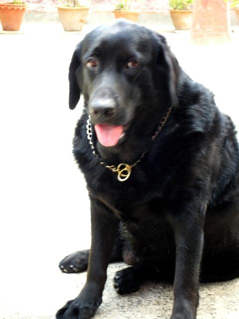 Jeanie, my Labrador puppy