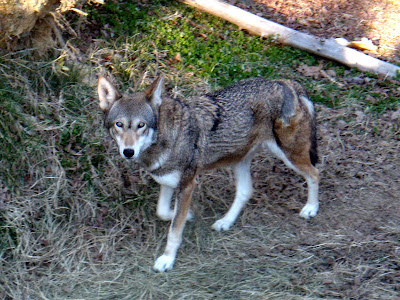 Can humans have wolf/dog like triats?