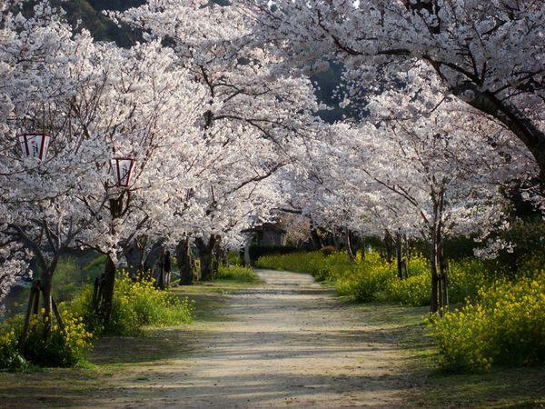 http://1.bp.blogspot.com/_0o1kf5KbcWM/S8xLf8ePo6I/AAAAAAAAAIk/odfmDJ3LxRU/s1600/cherry-trees-walkway_13297_600x450.jpg