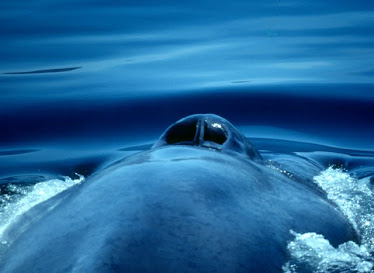Blue Whale, blowhole