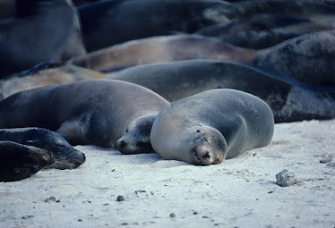 Galapagos Sea Lions, sleeping