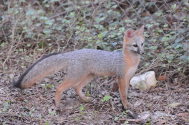 Grey Fox, Juvenile