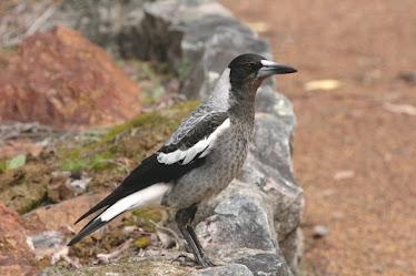 Australian Magpie, Immature