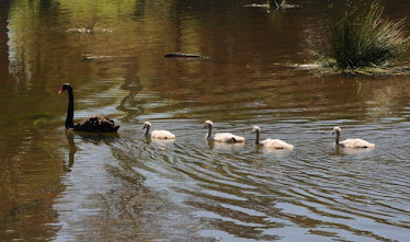 Black Swan and four cygnets