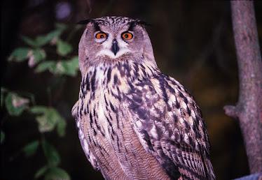 Eagle Owl 3