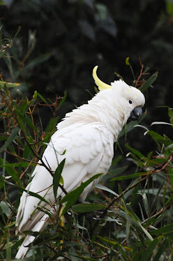 Sulphur-crested Cockatoo 5