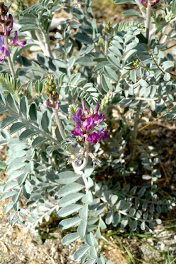 Coachella Valley Milk Vetch