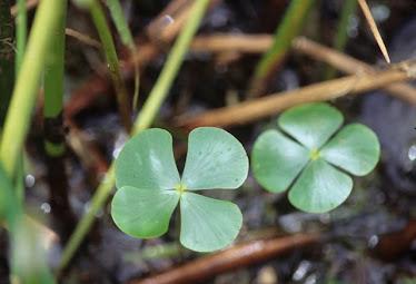 Marsilea quadrifolia - Shamrock Fern