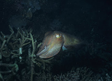Australian Giant Cuttlefish 3
