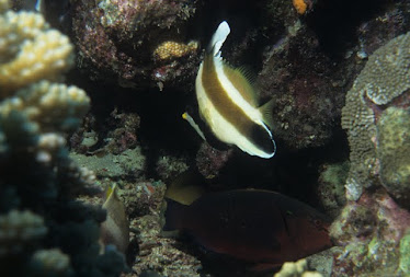 Pennate Bannerfish and Chameleon Parrotfish