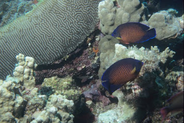 Two-spine Angelfish