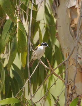 White-throated Honeyeater 2