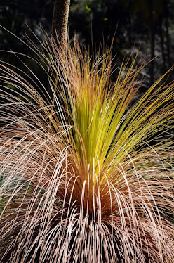 Grass Tree, Crown