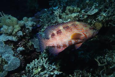 Coral Cod, immature