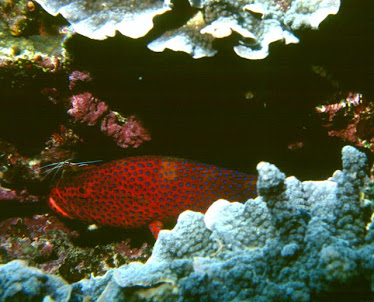 Coral Cod, with Cleaner Shrimp