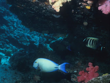 Ornate Surgeonfish and Six-lined Angelfish