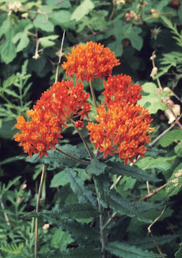 Butterflyweed - Asclepias tuberosa