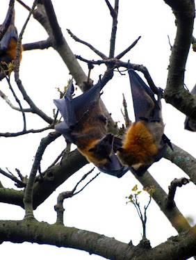Grey-backed Fruit Bat 5