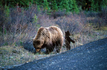 Grizzley Bear with cub 2