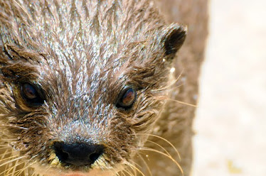Asian Small-clawed Otter (Aonyx cinerea), headshot