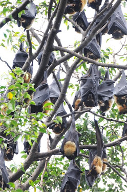 Spectaculed Fruit Bat 2