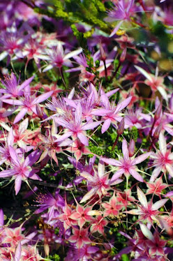 Turkey Bush, Calytrix exstipulata
