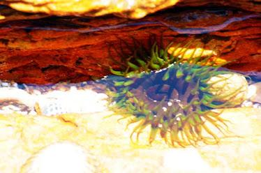 Sea Anemone, green
