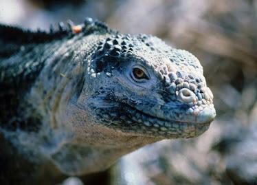 Galapagon Land Iguana, Female, headshot