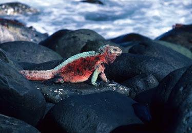Galapagos Marine Iguana, Male #3