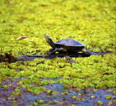 Krefft's Turtle - Emydura krefftii