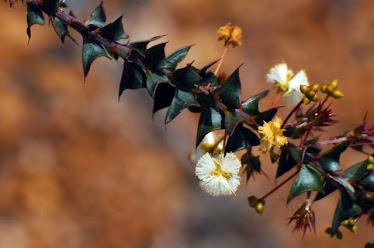 Acacia gunnii #662
