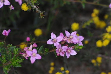 Boronia sp,. #751