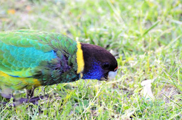 Australian Ringneck Parrot #206