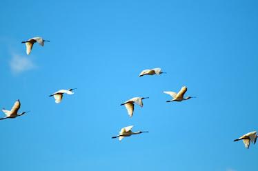 Royal Spoonbills, Flying