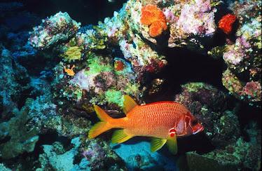 Saber Soldierfish