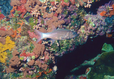 Tiger Cardinal Fish