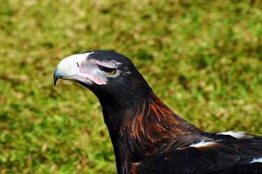 Wedge-tailed Eagle, headshot