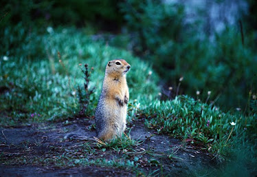 Arctic Ground Squirrel #2