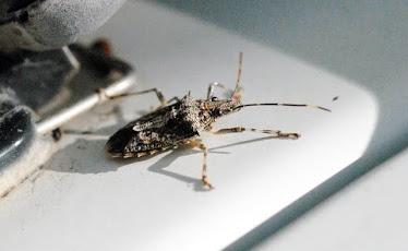 Hemipteran  #2083