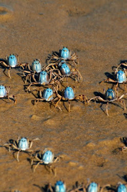 Blue Soldier Crabs
